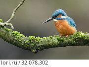 Купить «Eurasian Kingfisher / Eisvogel ( Alcedo atthis ), male perched on a natural branch, has dirt on its beak after digging its nesting burrow, wildlife, Europe.», фото № 32078302, снято 16 марта 2018 г. (c) age Fotostock / Фотобанк Лори