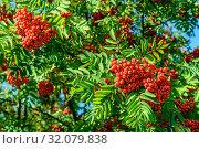 Купить «Красная рябина утром в конце августа», фото № 32079838, снято 21 августа 2019 г. (c) Владимир Устенко / Фотобанк Лори