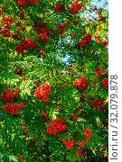 Купить «Гроздья красной рябины в конце лета в качестве фона», фото № 32079878, снято 21 августа 2019 г. (c) Владимир Устенко / Фотобанк Лори