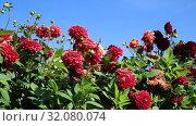 Купить «Красные георгины в саду (лат. Dаhlia)», видеоролик № 32080074, снято 24 августа 2019 г. (c) Ольга Сейфутдинова / Фотобанк Лори