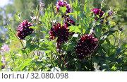 Купить «Георгины в саду (лат. Dаhlia)», видеоролик № 32080098, снято 24 августа 2019 г. (c) Ольга Сейфутдинова / Фотобанк Лори