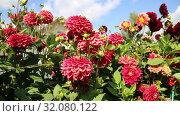 Купить «Красные георгины в саду (лат. Dаhlia)», видеоролик № 32080122, снято 24 августа 2019 г. (c) Ольга Сейфутдинова / Фотобанк Лори