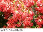 Купить «Обильно цветущая красными ароматными цветами вечнозеленая индийская лиана квисквалис (Quisqualis indica)», фото № 32081502, снято 21 июня 2019 г. (c) Irina Opachevsky / Фотобанк Лори