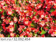 Красные цветы бегонии вечноцветущей на клумбе в парке. Стоковое фото, фотограф Наталья Волкова / Фотобанк Лори