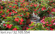 Купить «Rows of pots with flowering red begonia semperflorens cultivated in modern hothouse», видеоролик № 32105554, снято 3 июня 2019 г. (c) Яков Филимонов / Фотобанк Лори