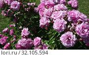 Купить «Rose flowers blooming in spring garden», видеоролик № 32105594, снято 27 мая 2019 г. (c) Яков Филимонов / Фотобанк Лори