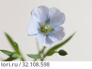Купить «Цветок льна (Linum usitatissimum)», фото № 32108598, снято 28 августа 2019 г. (c) Александр Курлович / Фотобанк Лори