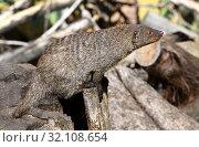 Купить «Funny Banded mongoose (Mungos mungo). Portrait», фото № 32108654, снято 29 августа 2019 г. (c) Валерия Попова / Фотобанк Лори
