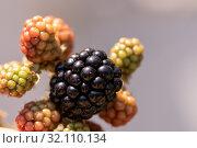 Купить «Blackberry berries ripening close-up. Ripe black berry and green», фото № 32110134, снято 6 июля 2019 г. (c) ok_fotoday / Фотобанк Лори