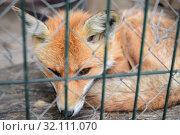 Купить «fox behind the metal grid», фото № 32111070, снято 1 сентября 2019 г. (c) Дмитрий Бачтуб / Фотобанк Лори