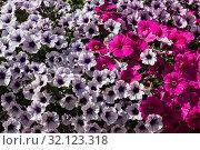 Купить «Фон из красочных разноцветных красивых декоративных цветов петунии», фото № 32123318, снято 25 июня 2019 г. (c) Наталья Волкова / Фотобанк Лори