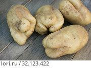 Купить «Трещины на клубнях картофеля, следствие неблагоприятных условий выращивания», фото № 32123422, снято 3 сентября 2019 г. (c) Александр Романов / Фотобанк Лори