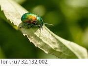 Зелённый жук. Бронзовка золотистая ползает по траве. Стоковое фото, фотограф Игорь Низов / Фотобанк Лори