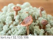 Купить «lactarius rufus mushrooms in reindeer lichen moss», фото № 32133106, снято 13 сентября 2018 г. (c) Syda Productions / Фотобанк Лори