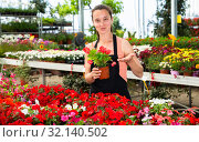 Купить «Young female gardener working with dipladenia plants in pots», фото № 32140502, снято 4 июля 2020 г. (c) Яков Филимонов / Фотобанк Лори