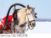 Купить «Head of white horse with harness», фото № 32145518, снято 10 марта 2012 г. (c) FotograFF / Фотобанк Лори