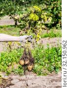 Купить «Hand holding freshly dug organic potatoes», фото № 32150962, снято 24 августа 2018 г. (c) FotograFF / Фотобанк Лори