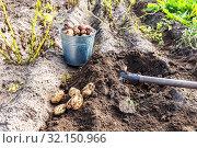 Купить «Freshly dug organic potatoes of new harvest», фото № 32150966, снято 25 августа 2018 г. (c) FotograFF / Фотобанк Лори