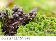 Ликогала древесинная (Lycogala epidendrum) Стоковое фото, фотограф Dmitry29 / Фотобанк Лори