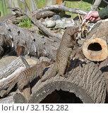 Купить «Zookeeper feeds animals. Banded mongoose (Mungos mungo)», фото № 32152282, снято 29 августа 2019 г. (c) Валерия Попова / Фотобанк Лори