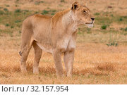 Lioness Kruger National Park. Стоковое фото, фотограф Zoonar.com/Matthieu Gallett / easy Fotostock / Фотобанк Лори