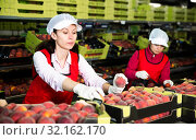 Two workers in process of sorting and packaging peaches. Стоковое фото, фотограф Яков Филимонов / Фотобанк Лори