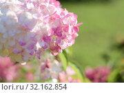 Гортензия метельчатая соцветие крупным планом. Hydrangea paniculata. Стоковое фото, фотограф Ирина Носова / Фотобанк Лори