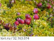 Купить «Зрелые ягоды клюквы», эксклюзивное фото № 32163074, снято 1 сентября 2019 г. (c) Dmitry29 / Фотобанк Лори