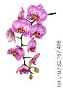Купить «Ветвь цветущей розовой орхидеи фаленопсис на белом фоне изолированных», фото № 32167498, снято 11 сентября 2019 г. (c) Наталья Волкова / Фотобанк Лори