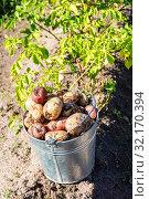 Купить «Freshly dug organic potatoes in metal bucket», фото № 32170394, снято 24 августа 2018 г. (c) FotograFF / Фотобанк Лори