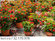 Купить «Pots with flowering begonias», фото № 32170978, снято 20 сентября 2019 г. (c) Яков Филимонов / Фотобанк Лори