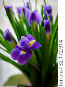 Купить «Close up of purple iris flower outdoor», фото № 32172914, снято 18 февраля 2020 г. (c) easy Fotostock / Фотобанк Лори