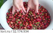 Купить «Childs hand washs small strawberries in bowl. Close-up. slow motion.», видеоролик № 32174934, снято 11 июля 2019 г. (c) Ирина Мойсеева / Фотобанк Лори