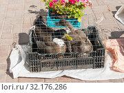 Купить «Утки в клетке на рынке», эксклюзивное фото № 32176286, снято 4 сентября 2019 г. (c) Александр Щепин / Фотобанк Лори