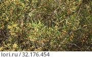 Купить «Small yellow flowers on Sticky wattle tree (acacia) during spring blossoming», видеоролик № 32176454, снято 2 апреля 2019 г. (c) Яков Филимонов / Фотобанк Лори