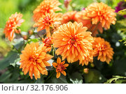 Купить «Orange dahlia flowers on flowerbed in garden», фото № 32176906, снято 15 мая 2019 г. (c) Юлия Бабкина / Фотобанк Лори