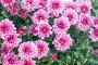 Купить «Розовые хризантемы в саду. Цветочный фон», фото № 32179674, снято 30 августа 2019 г. (c) Наталья Осипова / Фотобанк Лори