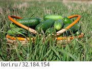 Урожай огурцов. Стоковое фото, фотограф Сергей Краснощеков / Фотобанк Лори