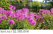 Купить «Pink decorative phlox flowers sway in the wind», видеоролик № 32185014, снято 17 сентября 2019 г. (c) FotograFF / Фотобанк Лори
