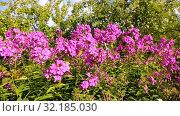 Купить «Pink decorative phlox flowers sway in the wind», видеоролик № 32185030, снято 17 сентября 2019 г. (c) FotograFF / Фотобанк Лори