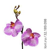 Купить «Ветка цветущей розовой орхидеи фаленопсис на белом фоне, изолировано», фото № 32189098, снято 11 сентября 2019 г. (c) Наталья Волкова / Фотобанк Лори