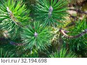 Купить «Pine branches close up.», фото № 32194698, снято 31 августа 2019 г. (c) Елена Блохина / Фотобанк Лори