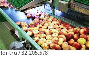Купить «View of fresh peaches on conveyor belt of sorting production line», видеоролик № 32205578, снято 16 октября 2019 г. (c) Яков Филимонов / Фотобанк Лори