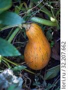 Купить «bottle yellow juicy pumpkin in the garden», фото № 32207662, снято 14 октября 2018 г. (c) Tetiana Chugunova / Фотобанк Лори