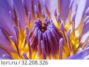 Купить «Flower purple lotus in the pond macro», фото № 32208326, снято 6 ноября 2016 г. (c) Наталья Волкова / Фотобанк Лори