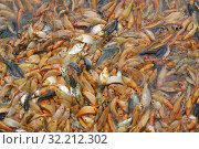 Hundreds of red fishs in water. Chau Doc. Vietnam. Стоковое фото, фотограф Pascal Deloche / Godong / age Fotostock / Фотобанк Лори