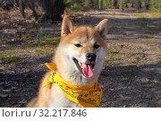 Портрет сиба-ину с желтой банданой. Стоковое фото, фотограф Михаил Панфилов / Фотобанк Лори