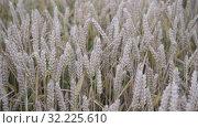 Купить «ripe ears of wheat sway in the wind in the field, slow motion. plentiful harvest», видеоролик № 32225610, снято 10 августа 2019 г. (c) Ирина Мойсеева / Фотобанк Лори