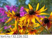 Купить «Цветы рудбекии в саду летом», фото № 32226322, снято 6 августа 2019 г. (c) Румянцева Наталия / Фотобанк Лори