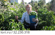 Mature woman working at smallholding, harvesting green peppers. Стоковое видео, видеограф Яков Филимонов / Фотобанк Лори